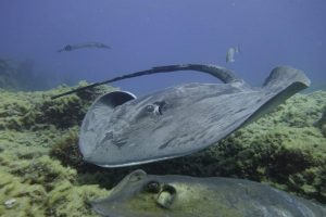 Atlantic Rays at Abades Beach in Tenerife with Excel Scuba